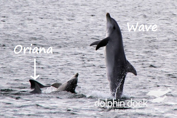 Oriana and other members of the pod observing Wave Tail Walk.