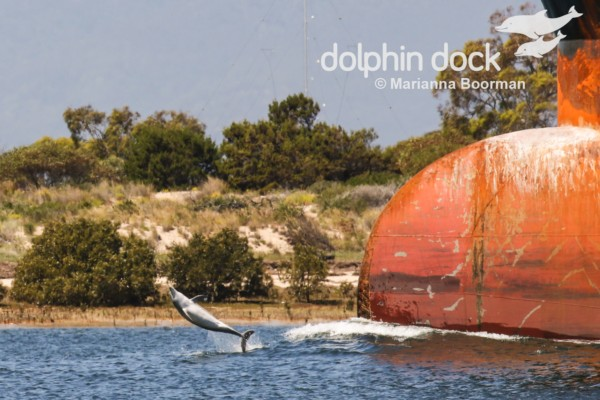 Port River Dolphin leaping in front of a ship