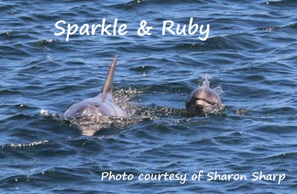 Sparkle with her new calf Ruby Photo courtesy of Sharon Sharp