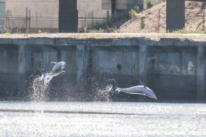 Dolphins leaping out of the water in the inner Port.